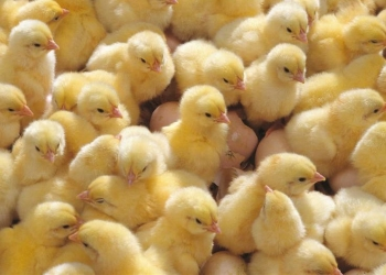 Бройлерные цыплята