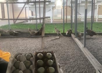 Продам Яйца цесарки и фазаньи