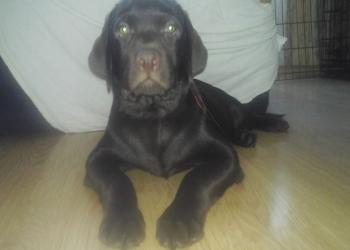 продам щенка лабрадора-ретривера тёмно-шоколадного окраса