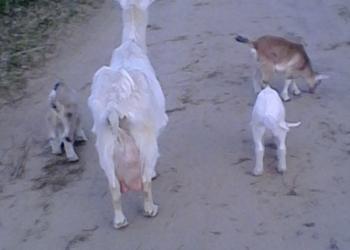 Козлята и козы