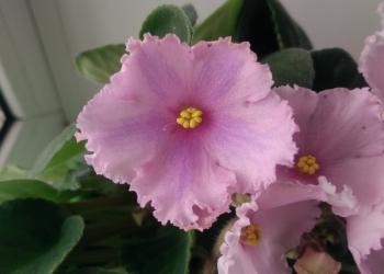 Продаю домашние цветы