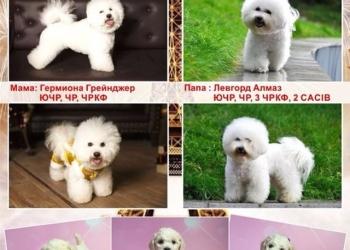 Продам замечательных щенков породы Бишон Фризе