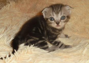 продам очаровательных котят