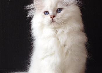 Продаются котята с сапфиповыми глазками