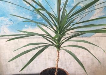 Пальма молодая