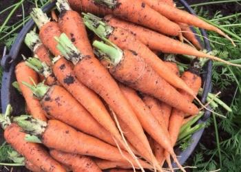 морковь оптом,1 и 2 сорт