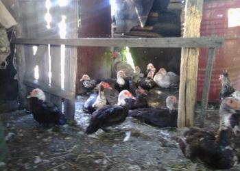 гуси индоутки утки и их дети