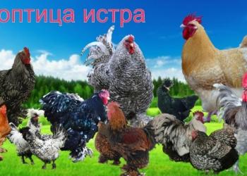 Цыплята, инкубационное яйцо.