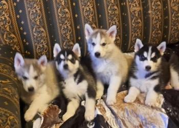 Самые красивые щенки Сибирской Хаски на свете!