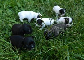 Продаются очаровательные щенки французского бульдога.
