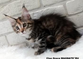 Питомник мейн кунов предлагает котят самой большой домашней кошки.