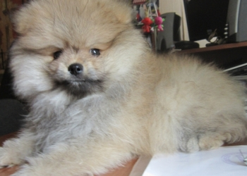 продается щенок шпица
