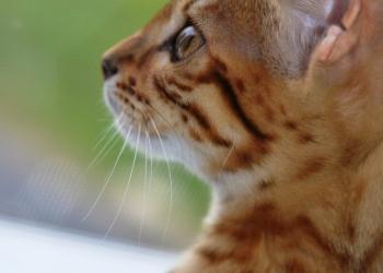 Бенгальская кошечка - 7 месяцев