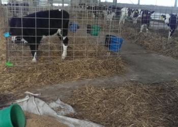 Телята бычки с доставкой бесплатной