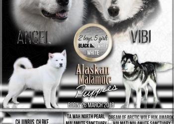 Щенки Аляскинского маламута с документами РКФ