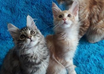Котята мейнкун из питомника в резерв и в наличие