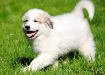 Щенки Пиренейской Горной Собаки из профессионального п-ка