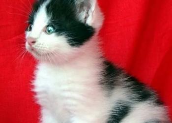 Котенок девочка ласковая двухцветочка в хорошие руки