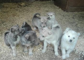 Чистопородные щенки западно сибирской лайки