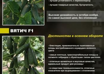 Продаем профессиональные семена огурца для теплиц