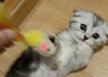 Британский котенок мрамор