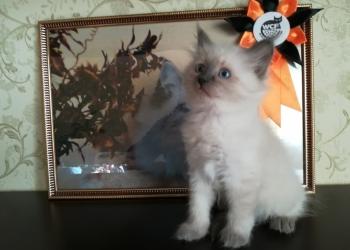Чистокровные котята породы Невская Маскарадная