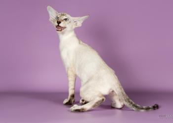 Котенок сиамской породы