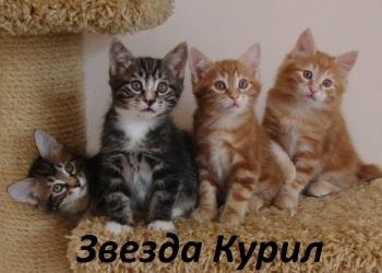 Котята Курильского бобтейла - умные кото-пёсики с документами.