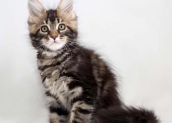 Котик мейн-кун из питомника дикого окраса