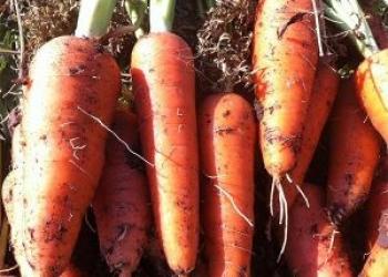 Морковь Абако, Кордоба