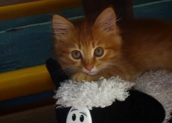 Рыжий ласковый котенок Лиза ищет заботливую семью