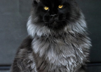 Мейн Кун котята питомника Wariwat