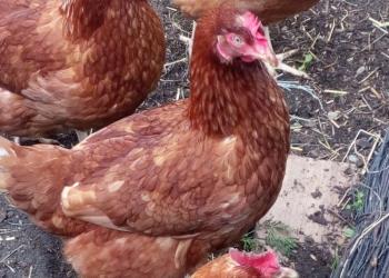 Продаю кур несушек голландских порода Хайн—Лайн