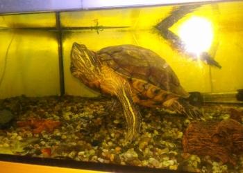 Продам черепаху , краба, агаму, террариумы, аквариумы, насосы, фильтры, акцесуар
