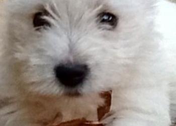 Белоснежные щенки Вестики