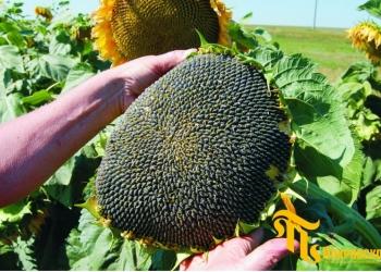 Гибриды семена подсолнечника ПР63А90, ПР62А91 от (Pioneer)