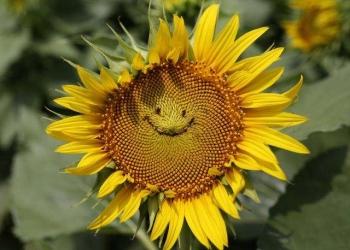Гибриды семена подсолнечника Лимагрейн.