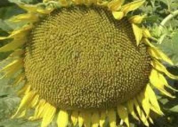 Гибриды семена подсолнечника ЛГ 5550, ЛГ 5580 от Лимагрейн (LG)