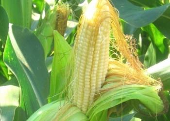 Гибриды семена подсолнечника Pioneer ПР37Н01, П8400, ПР39Г12.
