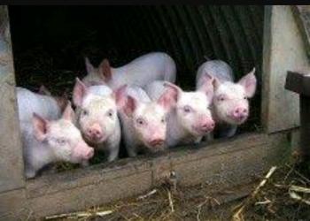 Продам паросят, свиней, мясо