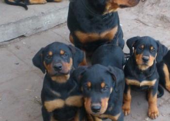 отличные  щенки ротвейлера