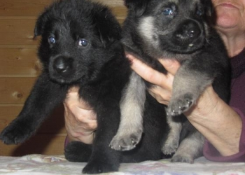 Восточноевропейской овчарки  щенки черные и чепрачные щенки