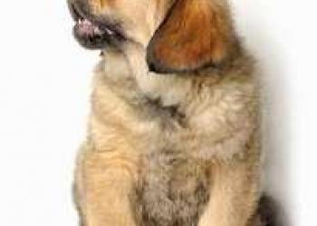 Подросшие  щенки Тибетского мастифа с прекрасной родословной !