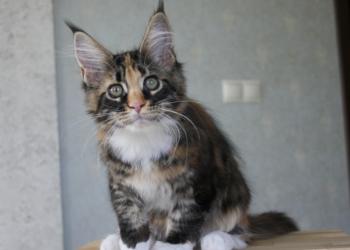 Котята мейн-куна из питомника MakAlina