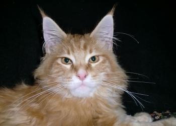 Мейн- куна котята крупные