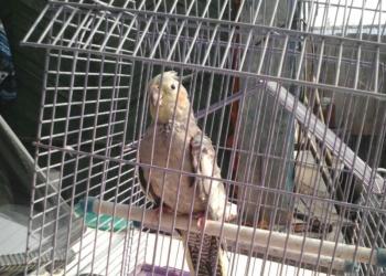 продам попугаев карелла