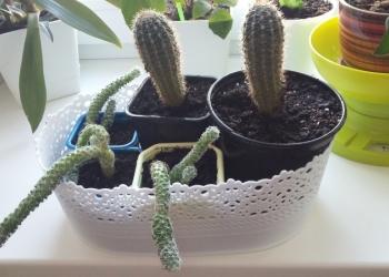 Продам укорененные отрости пеларгонии и кактусят