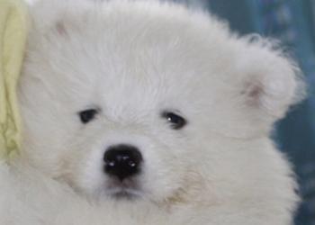 Бниование и продажа щенков