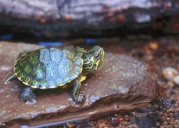 Корма для красноухой черепахи и других плотоядных рептилий Сера