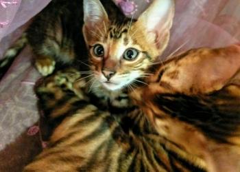Тойгер продаю элитных котят редкой породы Тойгер